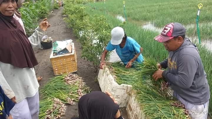 Akibat Banjir, Petani Bawang Di Marioriawa Terpaksa 'Gigit Jari'